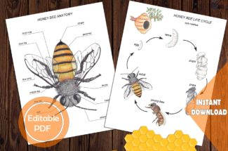 Honey Bee ANATOMY, LIFE CYCLE & Spin wheel / Editable Watercolor / Homeschool Printable / Education / Insect parts / Montessori / Bug /